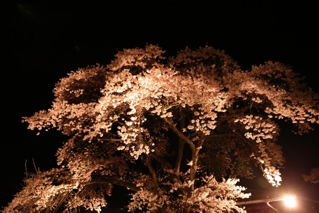 椛の湖の夜桜1