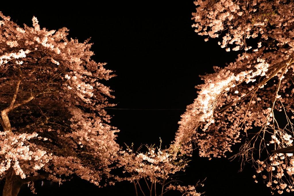 椛の湖の夜桜2
