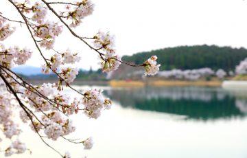 椛の湖オートキャンプ場 桜