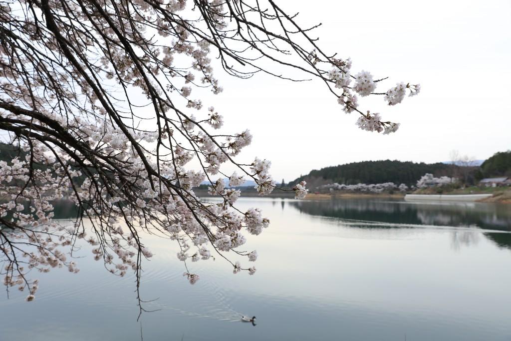 椛の湖の桜1