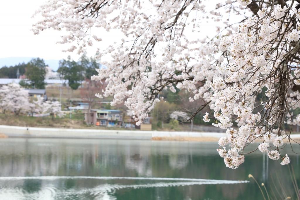 椛の湖の桜2