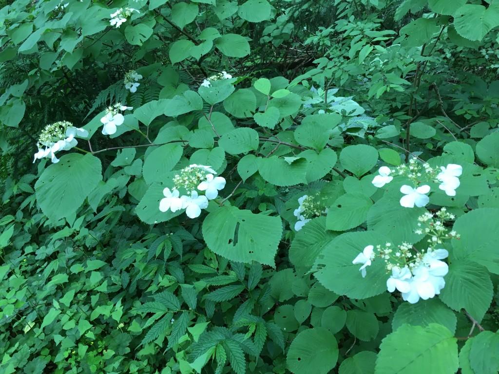 奥飛騨トレイルラン ブナ林コース内の花