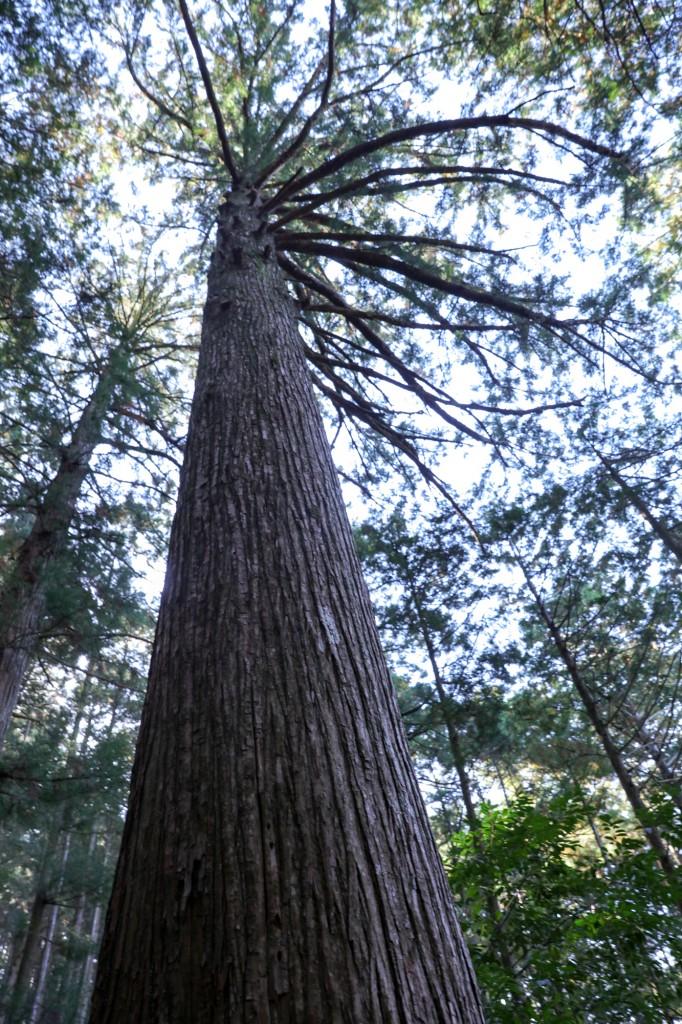 熊野古道 馬越峠 巨木