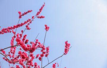 世界の梅公園 梅の花