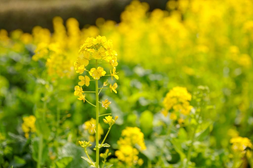 世界の梅公園 菜の花