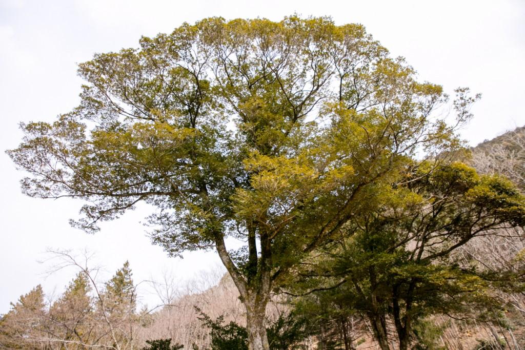 愛知県民の森 島根県のクロマツ