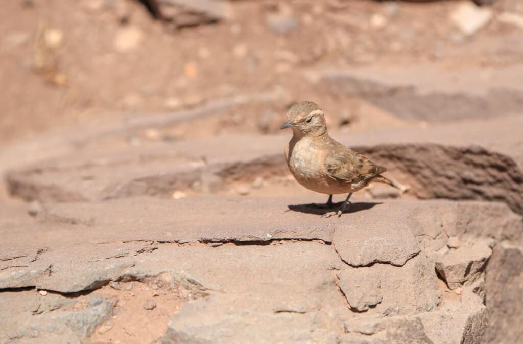 アコンカグアにいた鳥