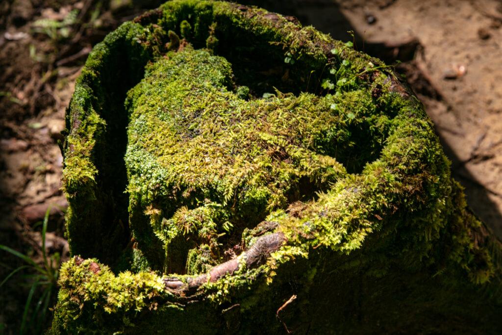 和歌山県新宮市 桑ノ木の滝 ハイキングコースにあるハート型の木