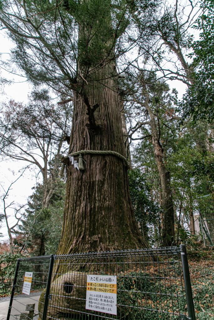 高尾山 たこ杉