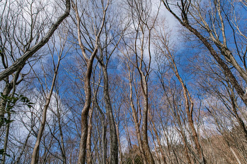 北総門山 ヒメシャラの森
