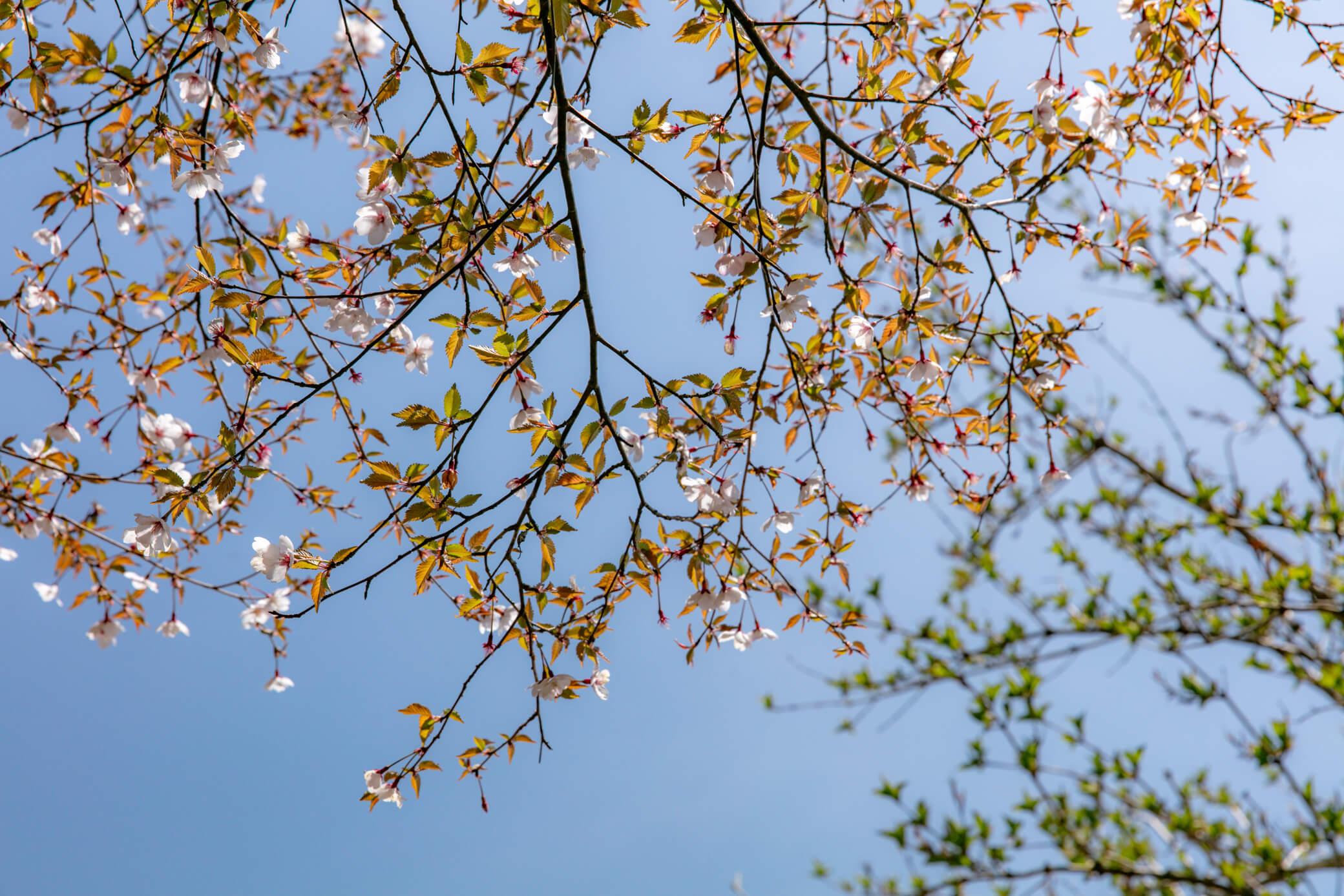 金時山 登山道 桜